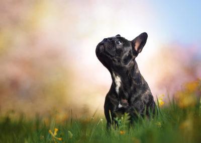 Franzoesische-Bulldoge