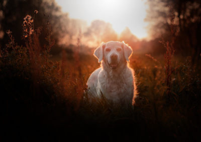 Golden-Retriever-Sonnenuntergang