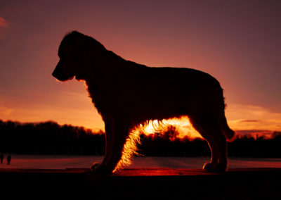 Golden-Retriever-Sonnenuntergang2