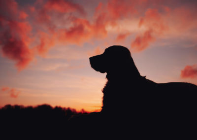 Golden-Retriever-Sonnenuntergang3