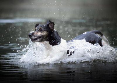Jack-Russel-im.Wasser