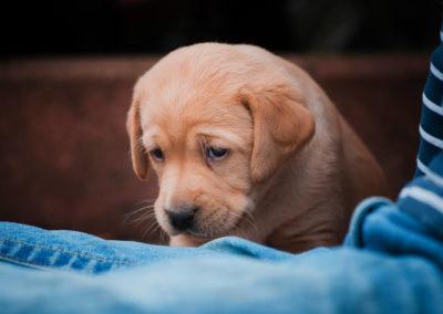 Labrador-Welpe-2