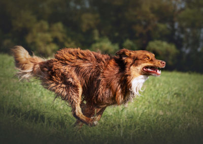 australian-Shepherd-ruede