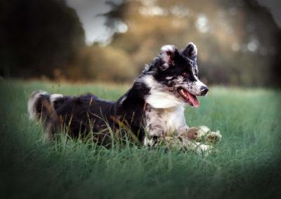 australian-Shepherd-ruede3